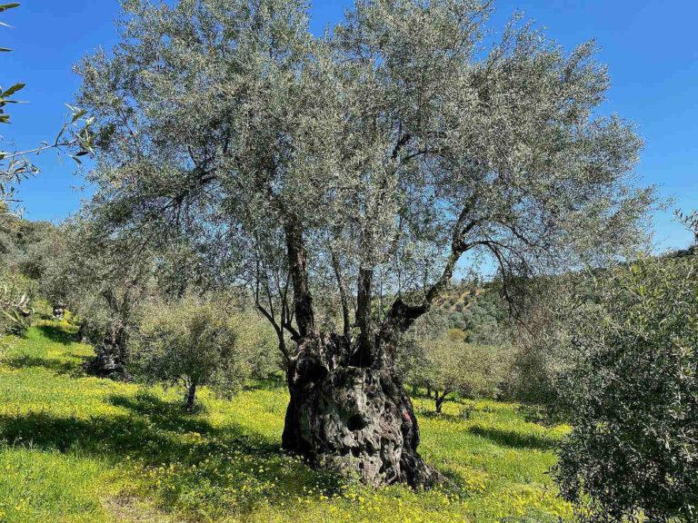 Giove l'albero centenario