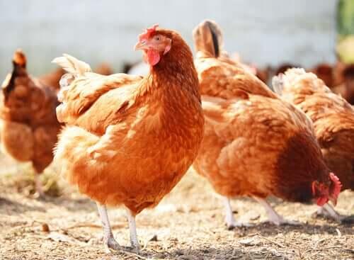 galline della fattoria didattica