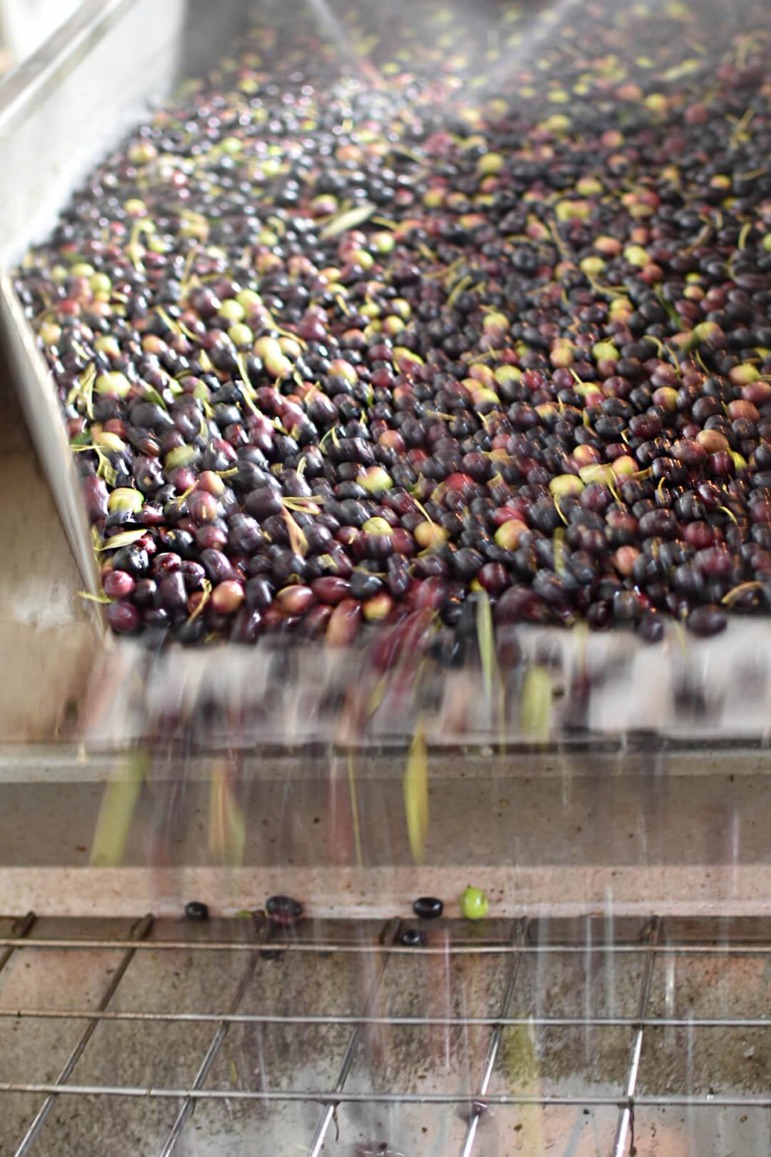 Lavaggio delle Olive Vulcano