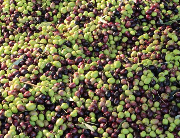 olive-quadro