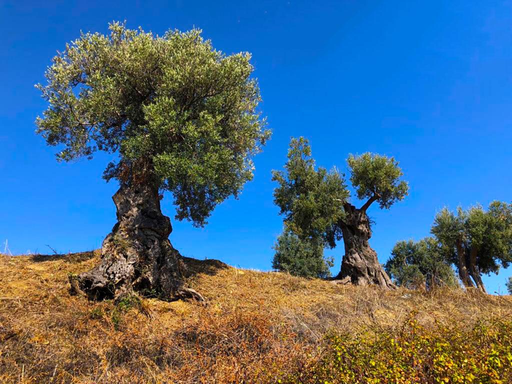 olivi calabresi